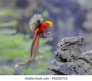 Golden Pheasant Images  Stock Photos   Vectors   Shutterstock Golden Pheasant