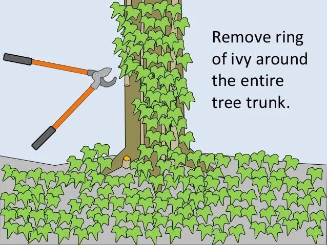 How to Kill English Ivy Vines: 3 Steps