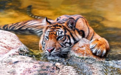 Sumatran Tiger Cooling Off HD Wallpaper | Background Image | 1920x1200 | ID:543447 - Wallpaper Abyss