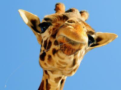 21+ Giraffe Wallpapers, Backgrounds, Images | FreeCreatives
