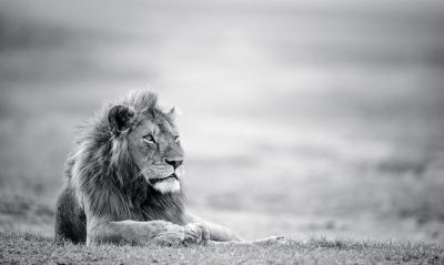 21+ Lion Wallpapers, Backgrounds, Images | FreeCreatives