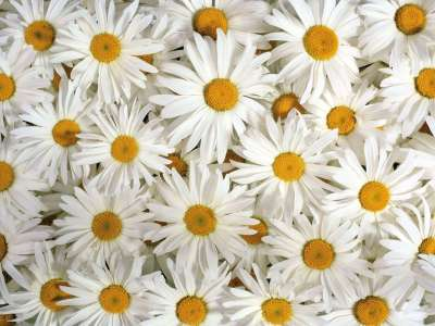 22+ Daisy Flower Wallpapers, Flower Backgrounds, Images, Pictures | FreeCreatives
