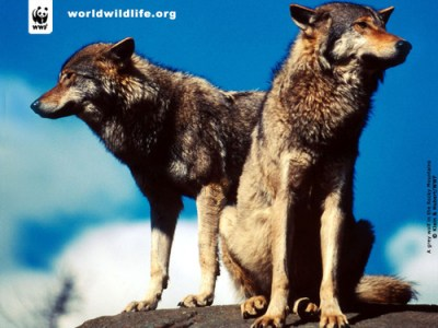 The Animal Kingdom images Wolves HD wallpaper and background photos (2200243)
