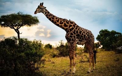 Giraffe HD Wallpaper | Background Image | 2560x1600 | ID:236972 - Wallpaper Abyss