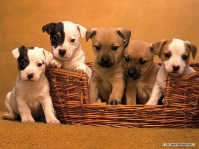 Dogs images Puppy Wallpaper HD wallpaper and background photos (7013331)