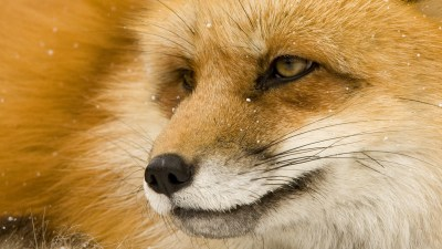 676 Fox HD Wallpapers   Background Images - Wallpaper Abyss - Page 7