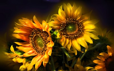 435 Sunflower HD Wallpapers | Background Images ...