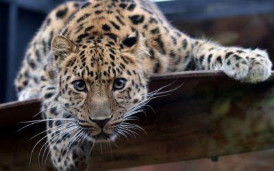 Jaguar HD Wallpaper | Hintergrund | 2560x1600 | ID:276135 - Wallpaper Abyss
