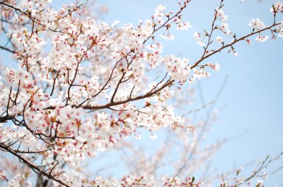 879 Blossom HD Wallpapers | Background Images - Wallpaper Abyss