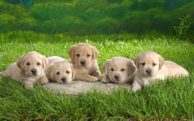Puppies - Puppies Wallpaper (16436771) - Fanpop
