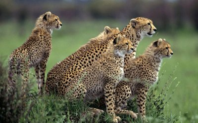 Cheetah HD Wallpaper | Background Image | 1920x1200 | ID:322868 - Wallpaper Abyss