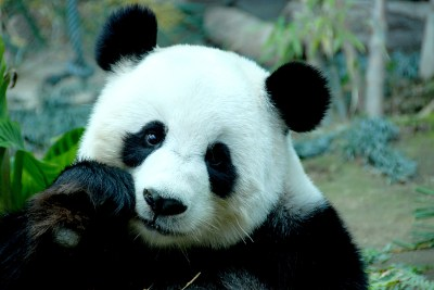 183 Panda HD Wallpapers | Backgrounds - Wallpaper Abyss - Page 4