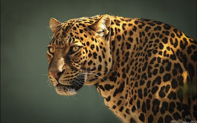 Jaguar HD Wallpaper | Background Image | 1920x1200 | ID ...