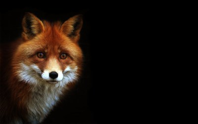 623 Fox HD Wallpapers   Backgrounds - Wallpaper Abyss - Page 2