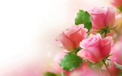 Pretty Pink Roses - Roses Wallpaper (34610943) - Fanpop