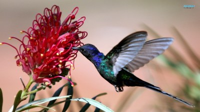 Hummingbirds images Hummingbird HD wallpaper and background photos (38681135)