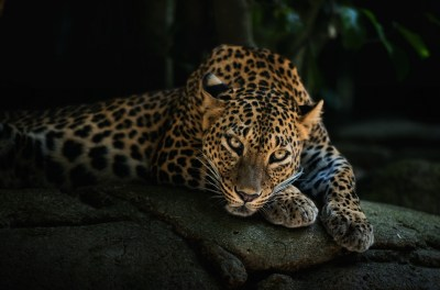 leopards images Leopard HD wallpaper and background photos (40623417)