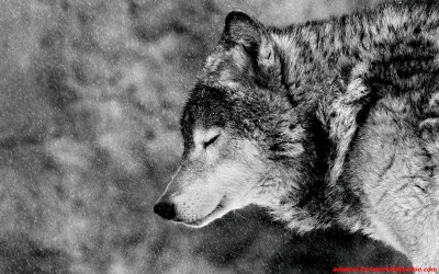 Wolf Full HD Wallpaper and Background Image   2560x1600   ID:373228