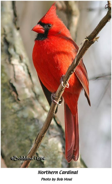 Northern Cardinal     Indiana Audubon Society Ask any group of folks what their favorite bird is and many will  undoubtedly say     Cardinal    or    Red Bird