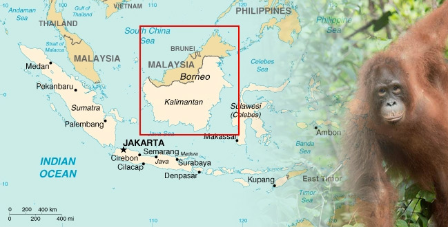 Borneo Orangutan Indonesia   Borneo Island Borneo  Kalimantan  is the third largest island in the world after  Greenland and New Guinea island  The total area of Borneo island is 736 000  KM 2