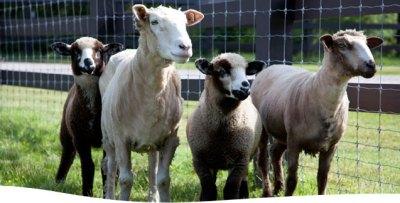 Smithsonian & SVF launch rare-breed livestock conservation partnership | Smithsonian Insider