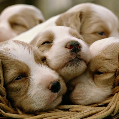 Cute Puppy Wallpapers | HD Backgrounds by nikhil D