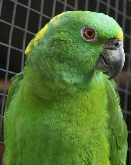 Yellow Naped Amazon Breeders