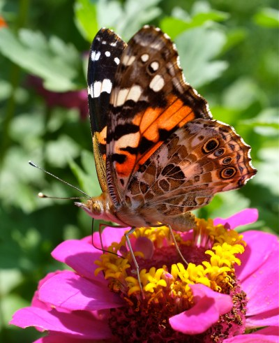 Painted Lady Butterfly | Kim Smith Designs