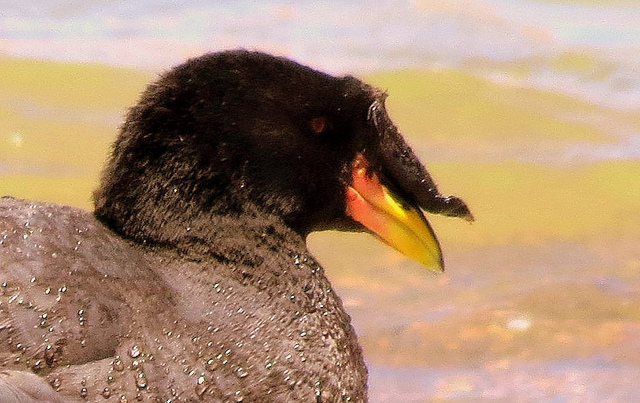 Horn    Birds   Lee s Birdwatching Adventures Plus Horned Coot  Fulica cornuta