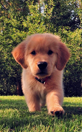 Download Dog Puppies Live Wallpaper for PC