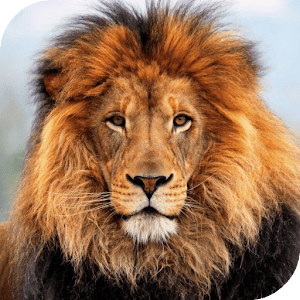 Lion HD Live Wallpaper - Android Apps on Google Play
