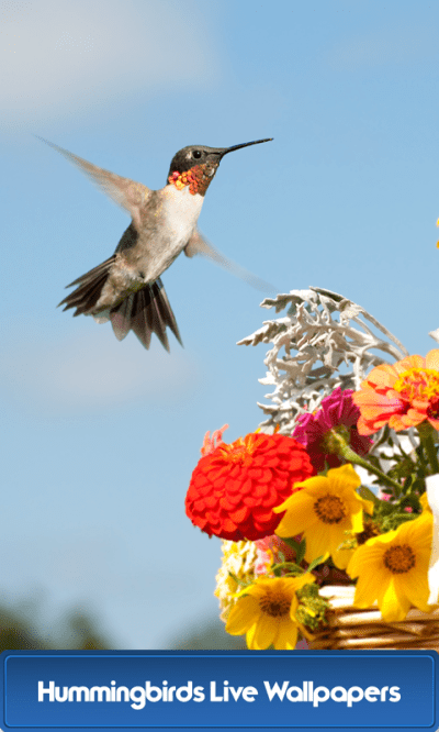 Hummingbirds Live Wallpapers - Android Apps on Google Play