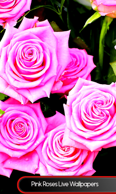 Pink Roses Live Wallpapers - Android Apps on Google Play