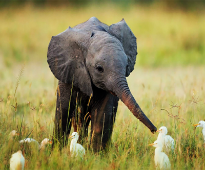 Download Elephant Live Wallpaper for PC