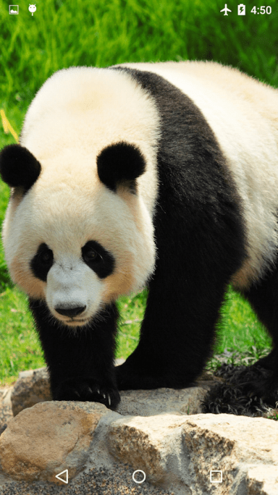 Giant Panda Live Wallpaper - Android Apps on Google Play