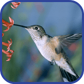 Amazing Hummingbirds Wallpaper - Android Apps on Google Play