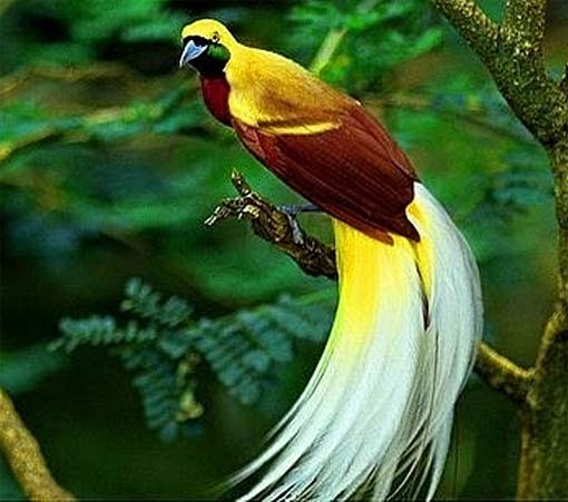 Mp3 Download Free Forever  Birds of Paradise Colorful Prancer     Birds of Paradise Colorful Prancer Dancers Animal Pictures and