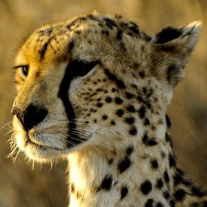 Download Cheetah Live Wallpaper Google Play softwares ...