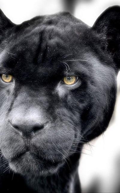 Black Panther Screensaver - impremedia.net