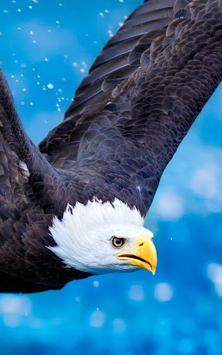 Download Eagle Live Wallpaper for PC