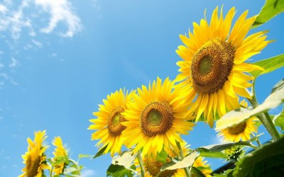 Sunflower Wallpaper - Android Apps on Google Play