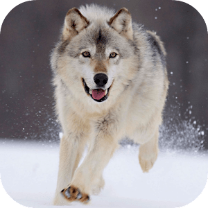 Arctic Wolf Live Wallpaper - Android Apps on Google Play