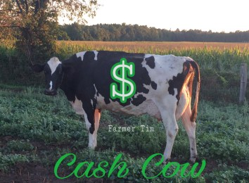 Cash Cows Are Well Cared For Cows | MAYHAVEN FARMS