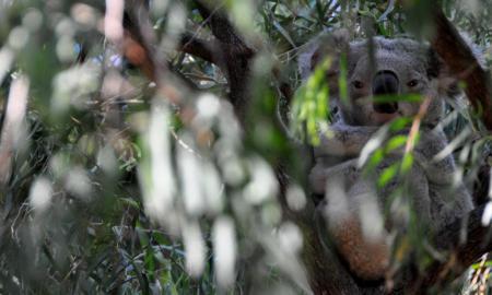 Koala Bears Extinct