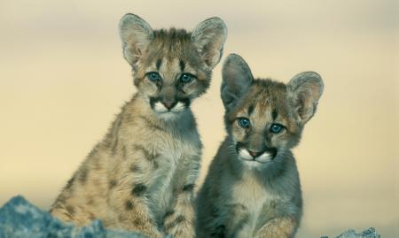 Eastern Cougar Extinct Canada