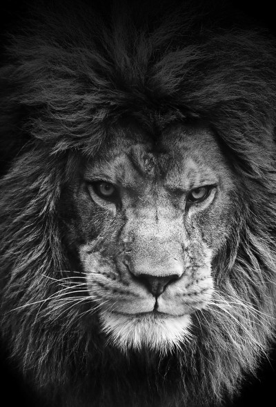 Lion wallpapers for iPhone and iPad