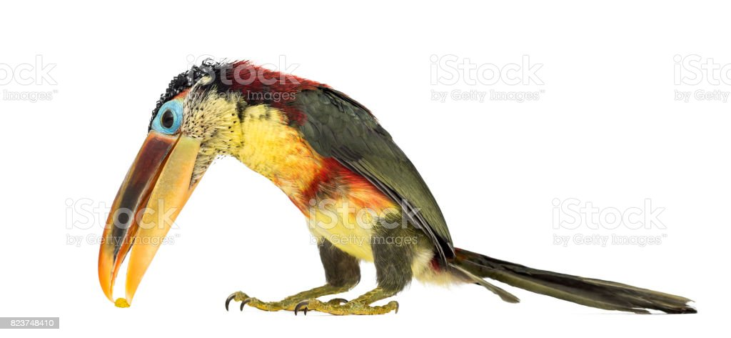 Curlcrested Aracari Isolated On White Stock Photo   More Pictures of     Curl crested aracari  isolated on white royalty free stock photo