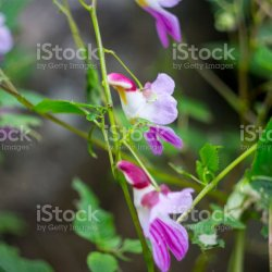 Parrot Flower Chiang Dao Wildlife Sanctuary Chiang Mai Thailand