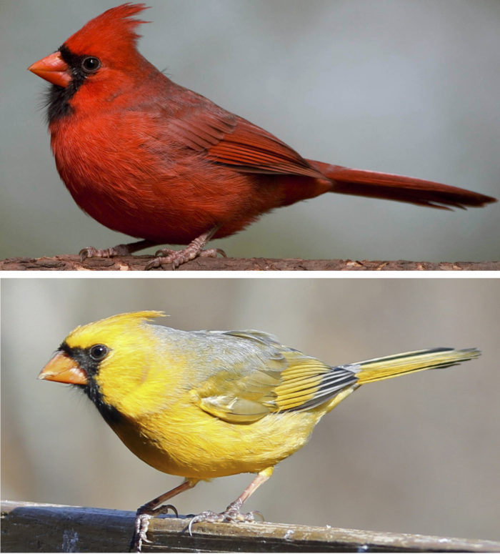 How did cardinals get those bright red feathers      Washington     Scientists have identified the gene that allows birds  such as the cardinal   to make