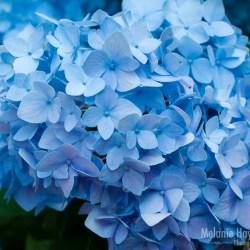 My 365 Pastel Flowers Melanie Haynes Photography